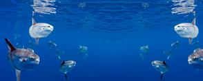 The Mola Mola of Nusa Penida