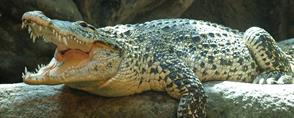 Crocodiles of Cuba and the Gardens of the Queen