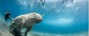 The Dugongs of Marsa Alam